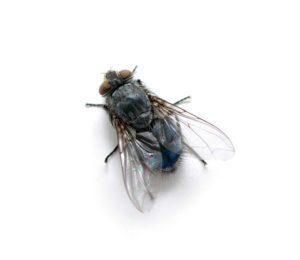 Kammerjäger Fliegen