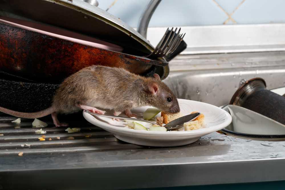 Schädlingsbekämpfer Mäuse