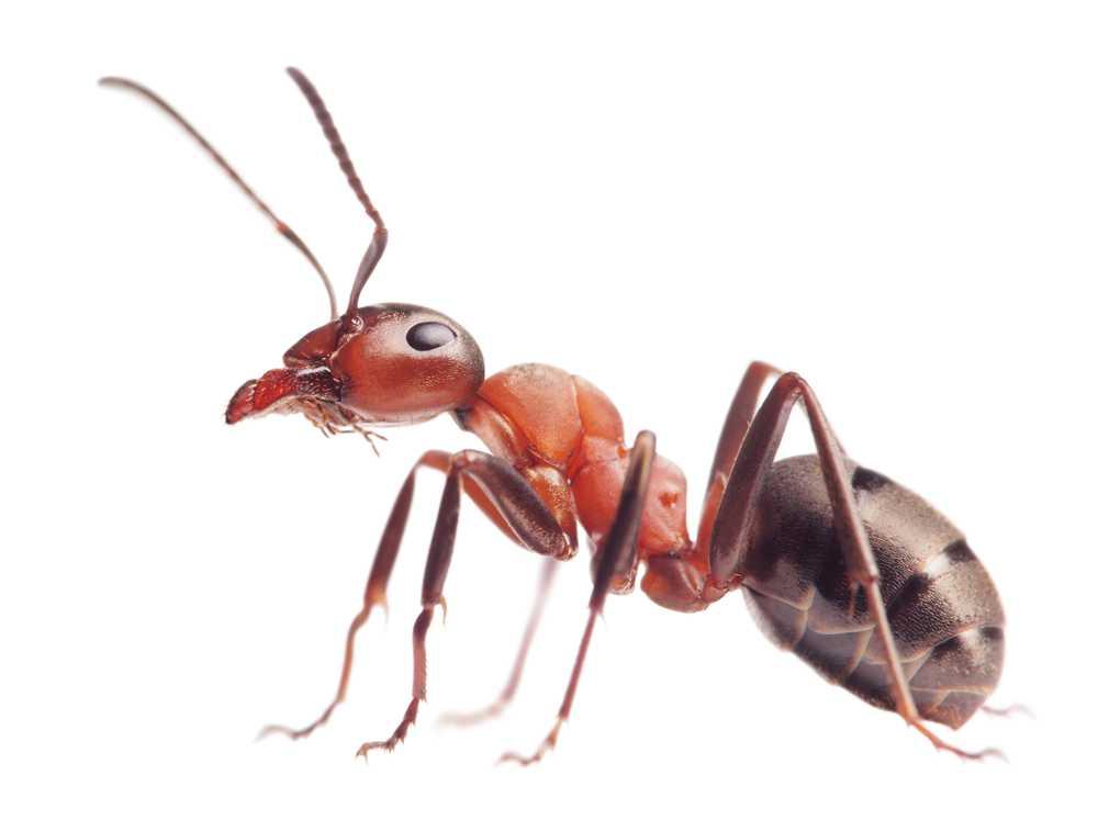 Schädlingsbekämpfung Ameisen