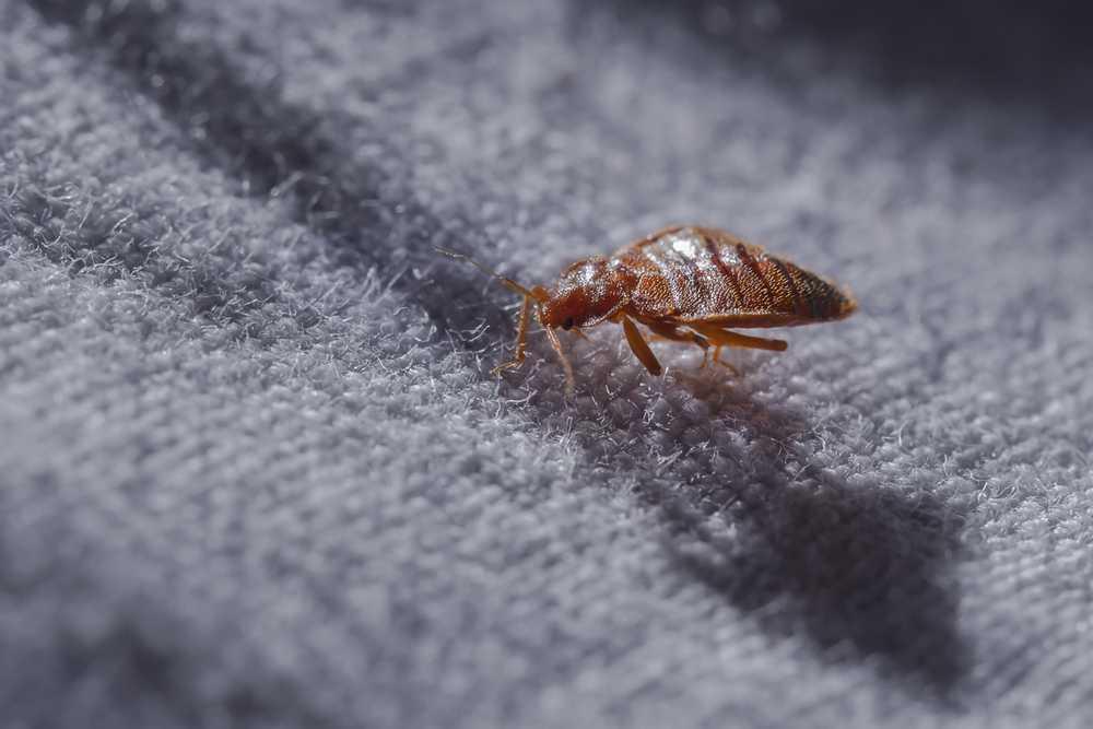Schädlingsbekämpfung Bettwanzen