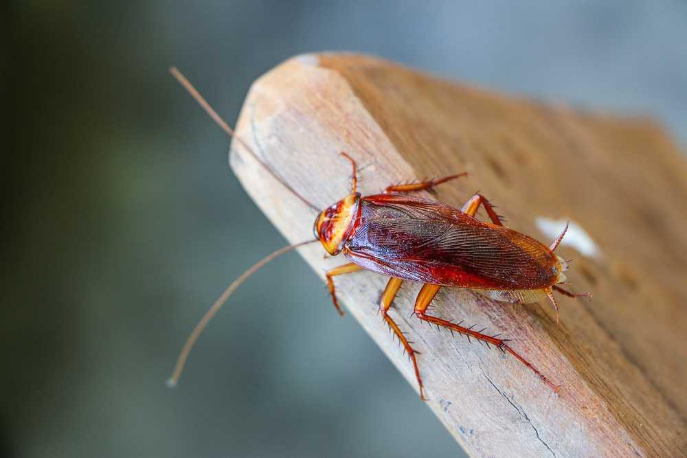 Schädlingsbekämpfung Kakerlaken