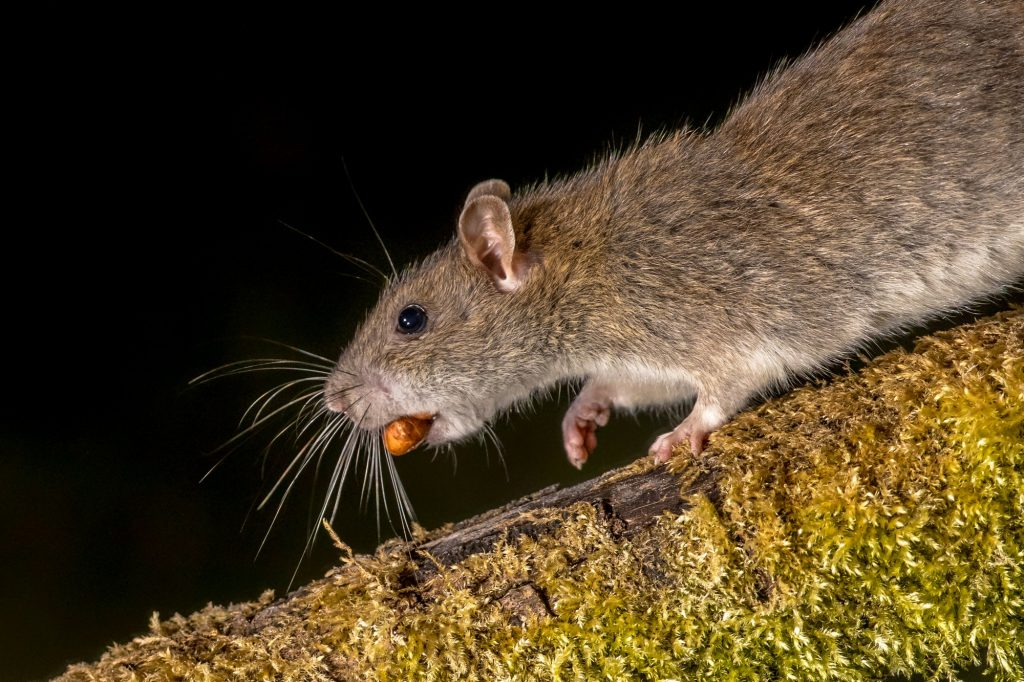 wild-brown-rat-with-nut-1024x682