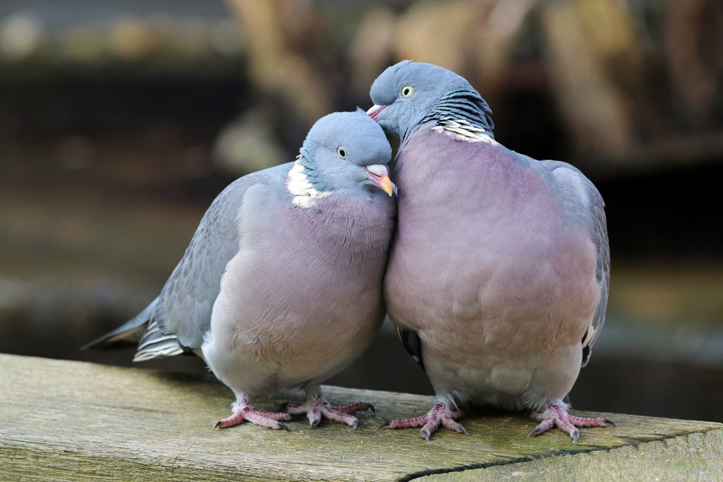 wood-pigeons-in-love-1024x682