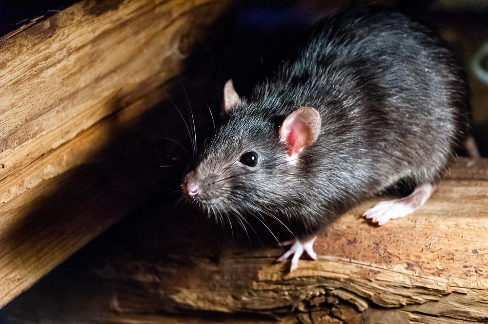Kammerjäger für Ratten