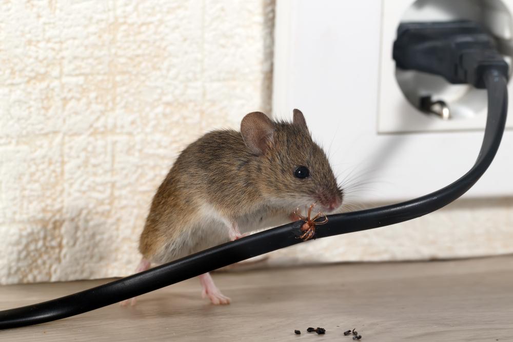 Kammerjäger für Mäuse